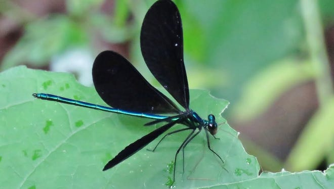 An ebony jewelwing damselfly, the author's favorite species.