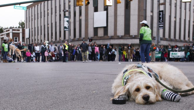 """A dog """"Wheatin"""" hangs out along the parade route as MSU's """"Zeke the Wonderdog,"""" left, catches a frisbee during the 2015 MSU Homecoming Parade."""