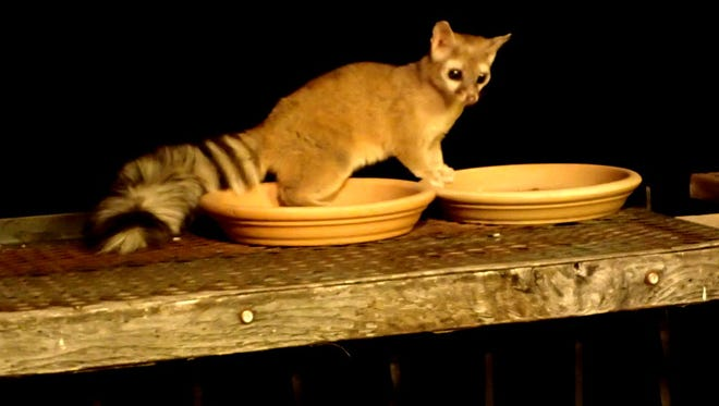 On another visit, some light shows the ringtail's coloration with a better view of his face.