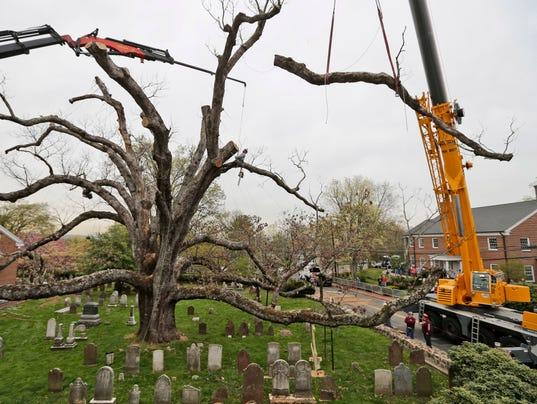 AP 600 YEAR OLD TREE A USA NJ