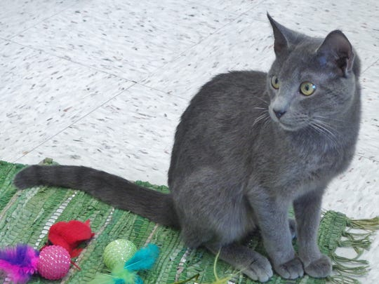 Slim is a pretty all gray boy who might have some Russian Blue in him. He's about a year old and loves to talk. He's got gorgeous green eyes and is looking for someone to take a chance on him. Could that someone be you?