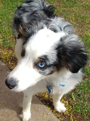 Finn, a 7-month-old Aussie, is enjoying a new home after being rescued from a hoarding-type situation April 12.