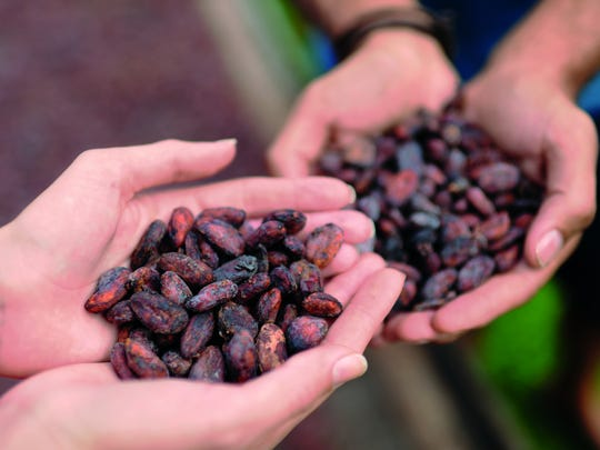 Cacao plants, necessary for chocolate, can only grow under specific melt-in-your-hand conditions within about 20 degrees on either side of the equator and require fairly constant temperatures, humidity and rain, the NOAA report says.