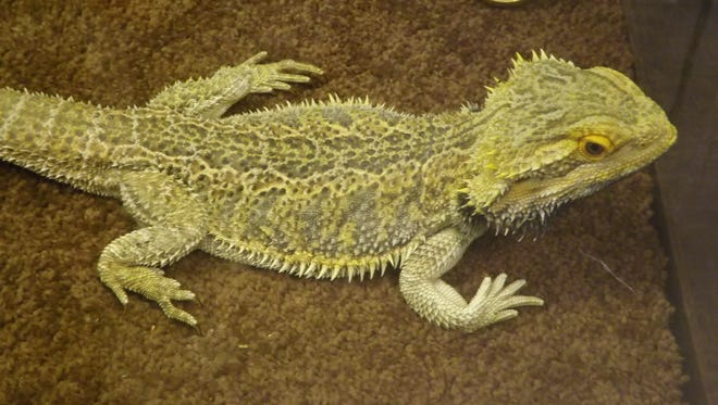 Watch the bearded dragon being fed Saturday at the Joseph Moore Museum and pose for a selfie.