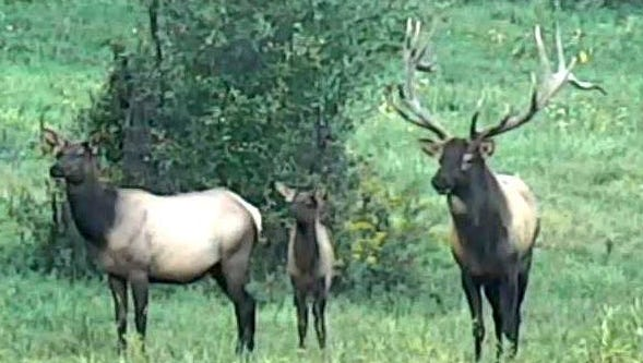 A group of elk, including a large bull, stand alert in a field in Elk County in this file photo.