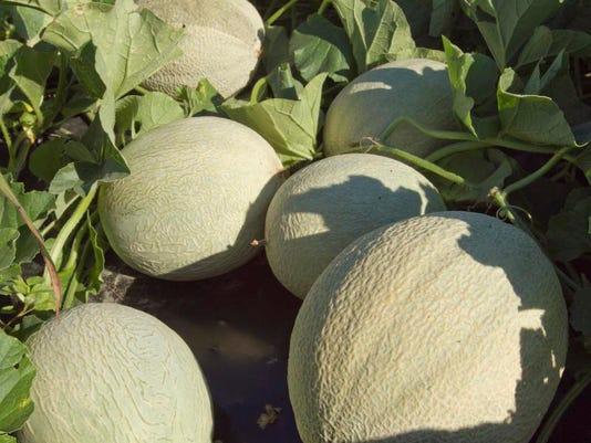 Melon crop_02.jpg