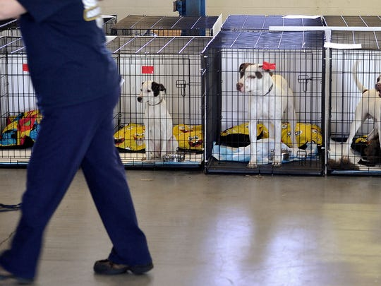 Rescue dogs watch as a worker brings in another cage at the Animal Rescue Corps facility in Lebanon.