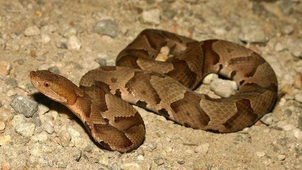A copperhead snake is shown with its distinctive banded appearance.