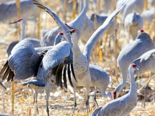 Two sandhill cranes are about to go into their jumping