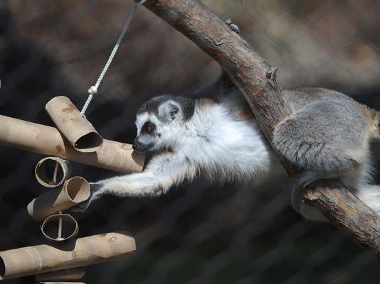 INI Adventuress Column Lemurs 0330_03.jpg