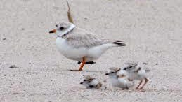 Piping Plover nests have returned to Goose Rocks Beach.