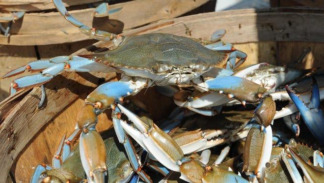 Delaware Bay Blue Crab in Leipsic, Del.