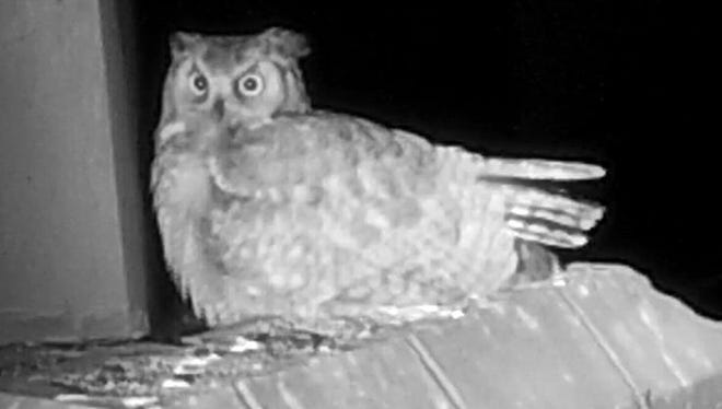 Shadow, a female great horned owl, tends to her egg at night. She and a male owl are nesting at Shadow Ridge High School in Surprise.