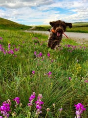 Nessie, a young griffon, runs through flowers blooming