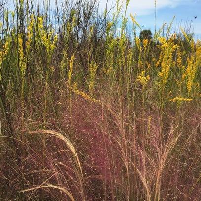 Purple lovegrass, pictured here in front of goldenrod,