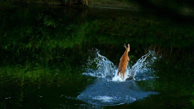 Deer in Lamoille River in Morrisville.