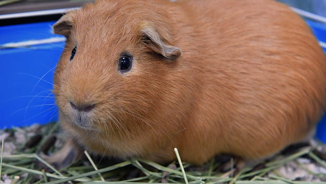 Nutmeg is a 1-year-old, reddish brown, female Guinea pig. She is friendly, likes attention and is available for adoption at the Wichita Falls Animal Services Center.