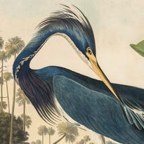 Vivid Audubon prints will help usher in spring at IMA