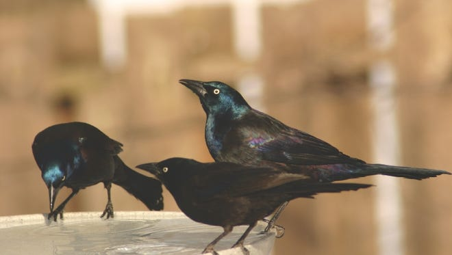 The common grackle is just one of the bird species that has already begun migrating south.