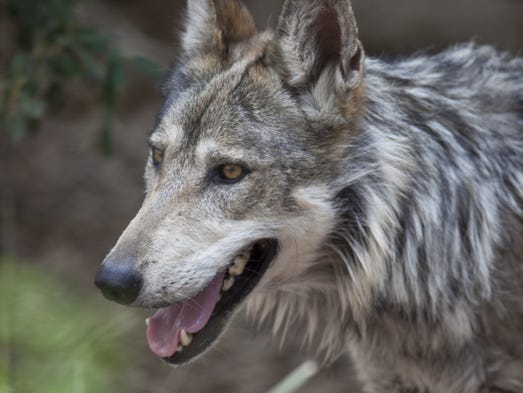 mexican gray wolf population bounces back in southwest. Black Bedroom Furniture Sets. Home Design Ideas