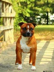 Jennifer Irwin's dog Flynn, a Staffordshire Bull Terrier,