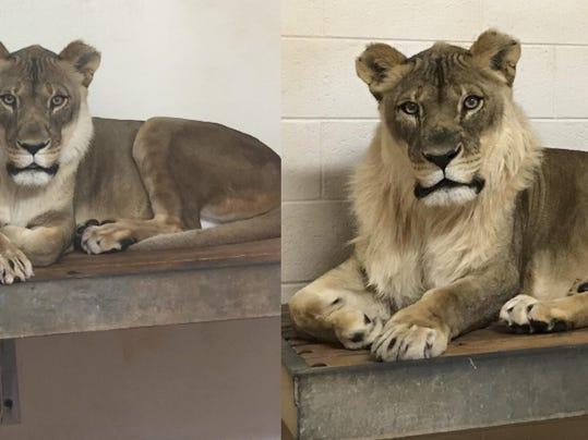 Lioness Mane
