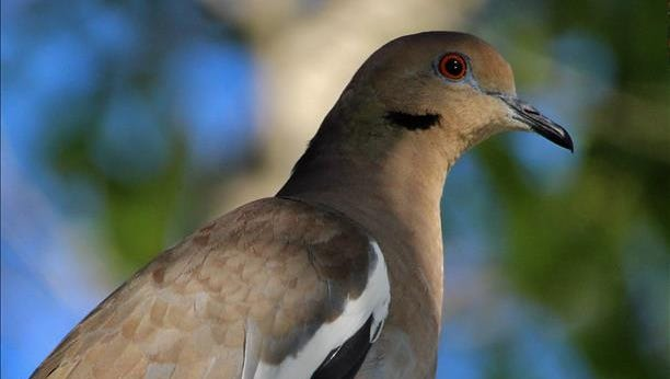 A white-winged dove perches in an oak tree in Palm City. Reader-submitted photo