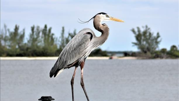 A young blue heron rests near  the Indian River Lagoon in Indian River County. Reader-submitted photo.