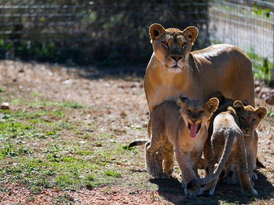 Niara stands with her cubs at the National Tiger Sanctuary in Saddlebrooke on Friday, Nov. 4, 2016. The four cubs were born after a lion's vasectomy failed and he fathered the cubs.