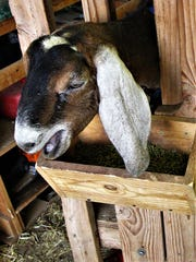 Capitan's Rock Creek Ranch focuses on their dairy goats.