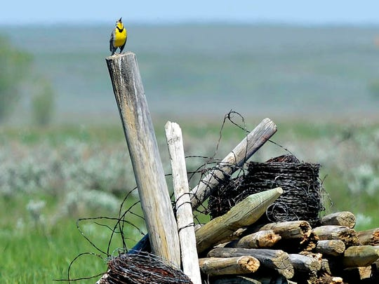 A meadow lark sings on a pile of old fence posts in a field bordering the American Prairie Reserve's Sun River Bison Range, May 20, 2015.