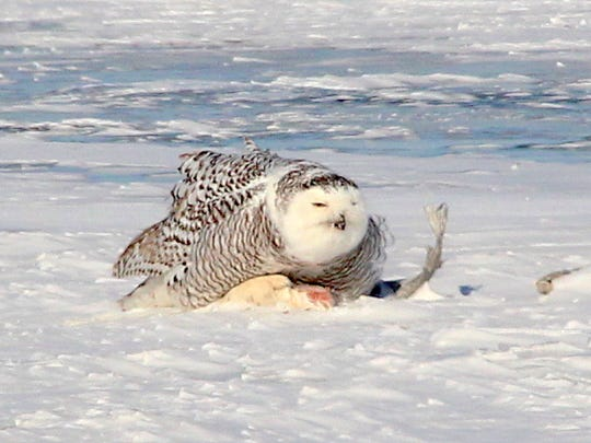 A snowy owl feeds on a fish on the frozen surface of Lake Poygan.