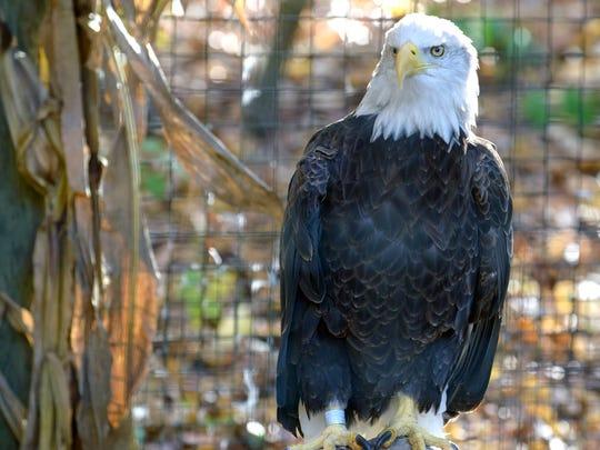 The bald eagle at the Kellogg Bird Sanctuary.