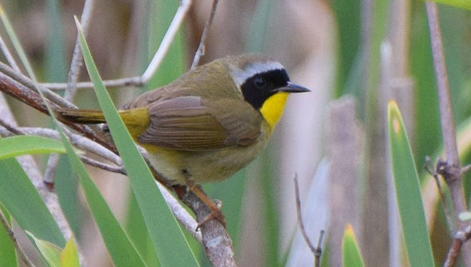 Coming to a natural area near you later this month, the Zorro bird, a.k.a. the common yellowthroat.