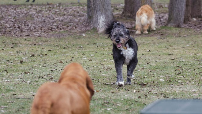 Several dogs enjoy the dog park Tuesday, Dec. 27 at East China Township Park on Recor Road. Anne, a Bouvier and akita mix, runs to Ruger, a blood hound, with Moose, a golden retriever, checking out the trees in the background.