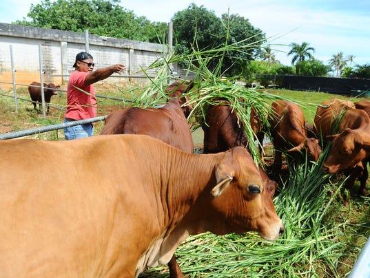 636378209118358042-cattle.JPG