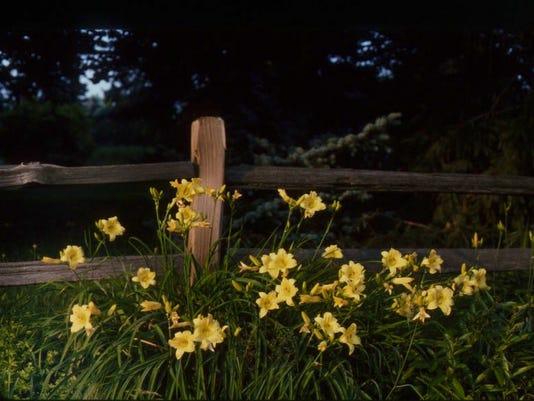 daylilies in landscape 2.JPG