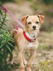 Bali, 11-month-old male terrier puppy. No. 97591.