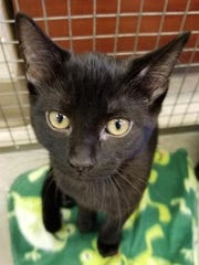 Sapphire is an adorable, female, domestic short hair