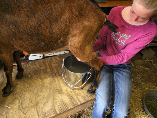 Ryleigh Lamb milks one of the many dairy goats that