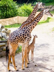 Tessa and Cece stand over Cece's daughter as she explores Giraffe Ridge for the first time in August 2016 at the Cincinnati Zoo & Botanical Garden.