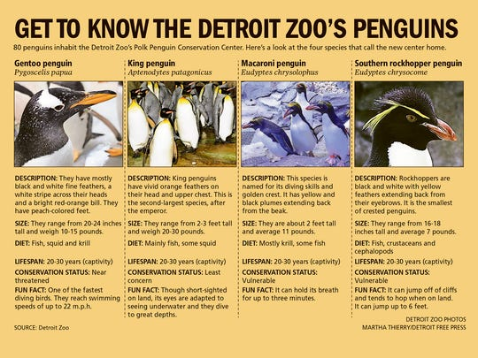 Information about the 4 species of penguins that inhabit the Detroit Zoo's new Polk Penguin Conservation Center.