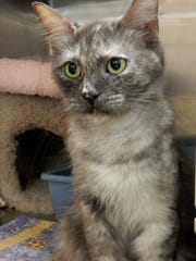 Maggie is a strikingly beautiful, spayed pale tortoiseshell