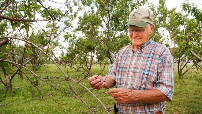 """Gary Kirkham looks at buds killed by cold temperatures last winter on a peach tree Thursday, May 31, 2018, at Wea Creek Orchard, 5618 S County Road 200 East. Unlike apple trees that bud in the spring to produce fruit in the summer, peach trees bud in the fall before producing fruit the following summer. Kirkham said really cold temperatures late in December killed the buds, eliminating the prospect of a peach crop this year. """"I love peaches, but they are so hard to grow,"""" he said."""