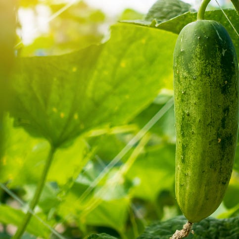 Home garden tips: Combating anthracnose of cucumber