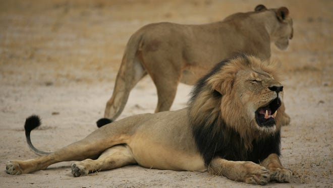 This 2012 photo by the  Zimbabwe National Parks agency shows the much-loved Zimbabwean lion named Cecil.