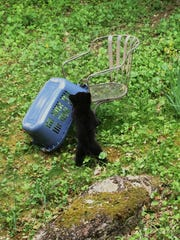 Baby black bears investigate most things in their environment.