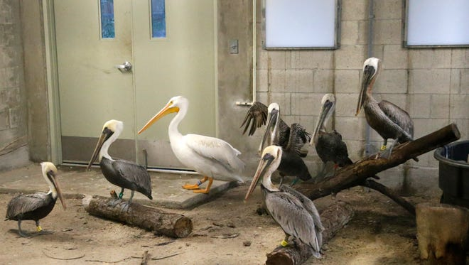 Pelicans at Zoo Miami rest after being moved into a hurricane resistant structure within the zoo, Saturday, Sept. 9, 2017 in Miami. Though most animals will reman in their secure structures, thought the cheetahs and some birds will ride out the storm in temporary housing. (AP Photo/Wilfredo Lee) ORG XMIT: FLWL107