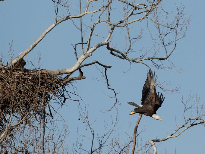 A pair of bald eagles has nested south of Lake Springfield
