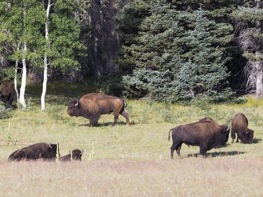 Bison graze in a field in the Kaibab National Forest near Fredonia.